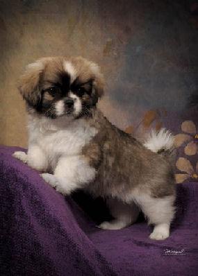 Chadwick Typhoon standing as puppy