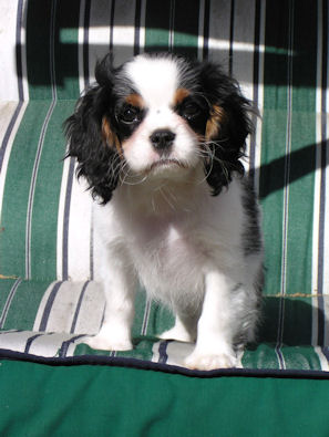types of spaniels list